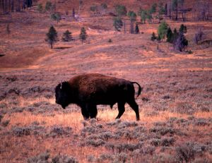 839 Yellowstone Buffalo.jpg